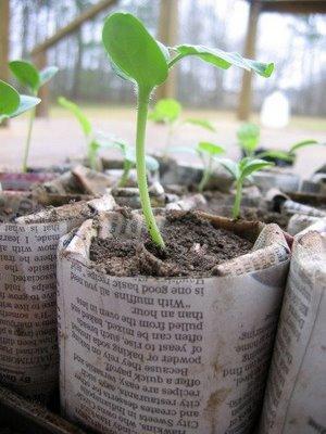 Plant seedings in Newspaper Pots